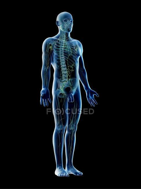 Anatomical male body showing skeleton and lymphatic system, digital illustration. — Stock Photo
