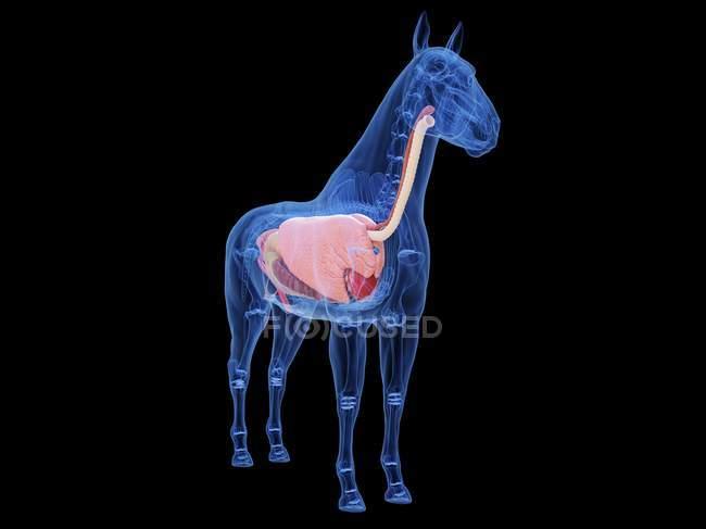 Pferdeanatomie mit sichtbaren inneren Organen, Computerillustration. — Stockfoto