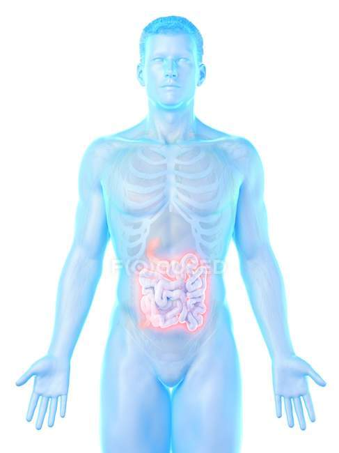 Male silhouette with visible small intestine, digital illustration. — Stock Photo