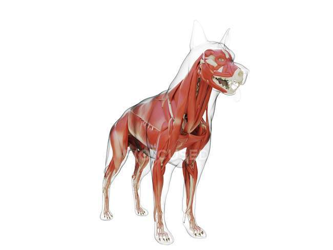 Dog silhouette with visible musculature on white background, digital illustration. — Stock Photo