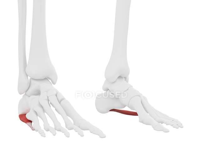 Parte del esqueleto humano con detallado músculo rojo Abductor digiti minimi, ilustración digital. - foto de stock