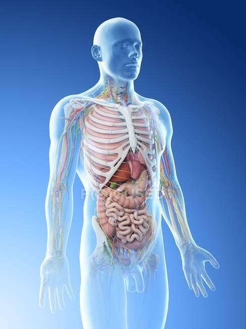 Modello realistico del corpo umano che mostra anatomia maschile con organi interni, illustrazione digitale . — Foto stock