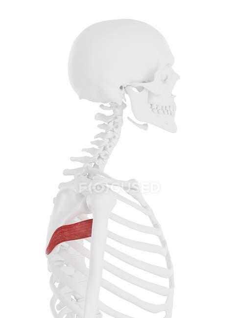 Modelo de esqueleto humano con músculo mayor detallado de Teres, ilustración por computadora . - foto de stock