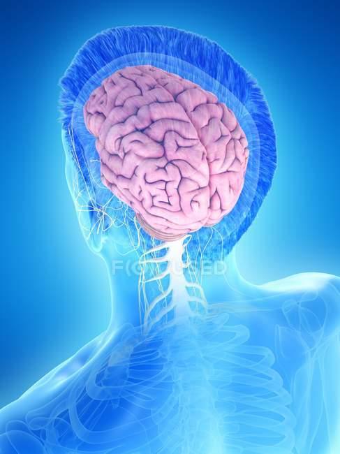 Anatomia del corpo maschile con cervello visibile, illustrazione digitale . — Foto stock