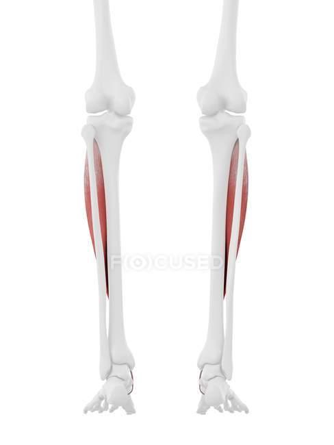 Modelo de esqueleto humano con músculo anterior Tibialis detallado, ilustración por computadora . - foto de stock