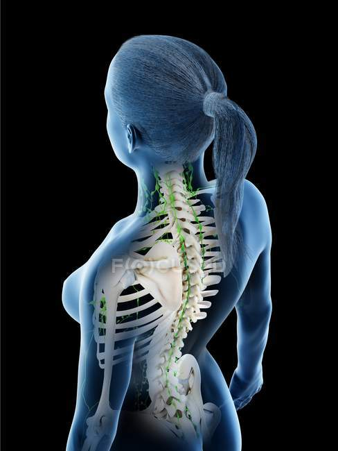 Corpo femminile che mostra scheletro e sistema linfatico, illustrazione digitale . — Foto stock