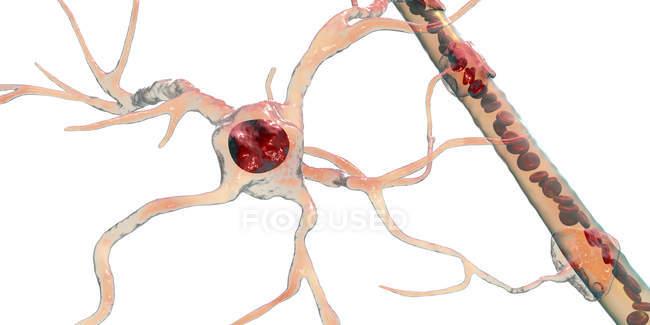 Célula glial cerebral astrocitaria que conecta las células neuronales con los vasos sanguíneos, ilustración digital . - foto de stock