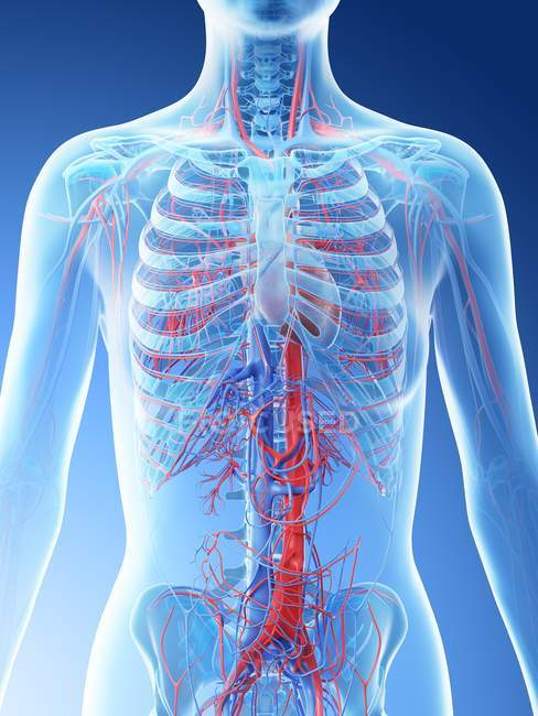 Vascular system of female upper body, computer illustration. — Stock Photo