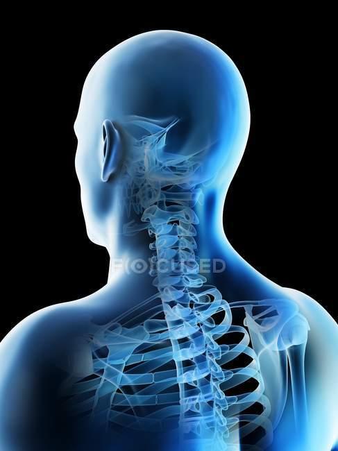 Astratto maschio testa e collo ossa, illustrazione del computer. — Foto stock