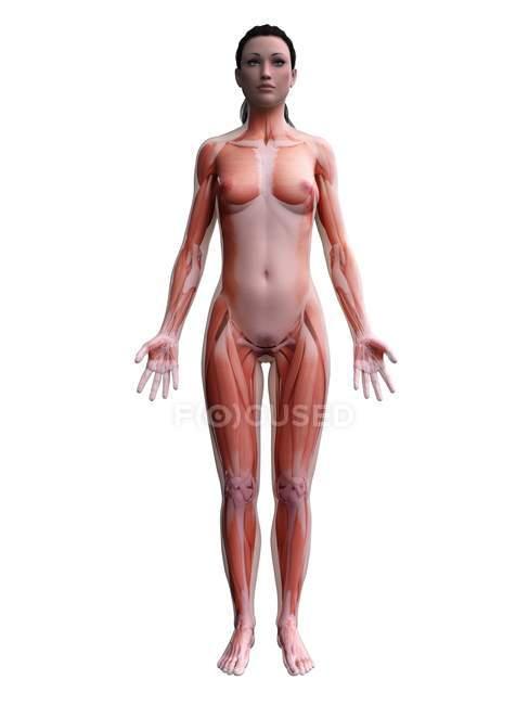 Cuerpo femenino con musculatura visible, ilustración digital . - foto de stock