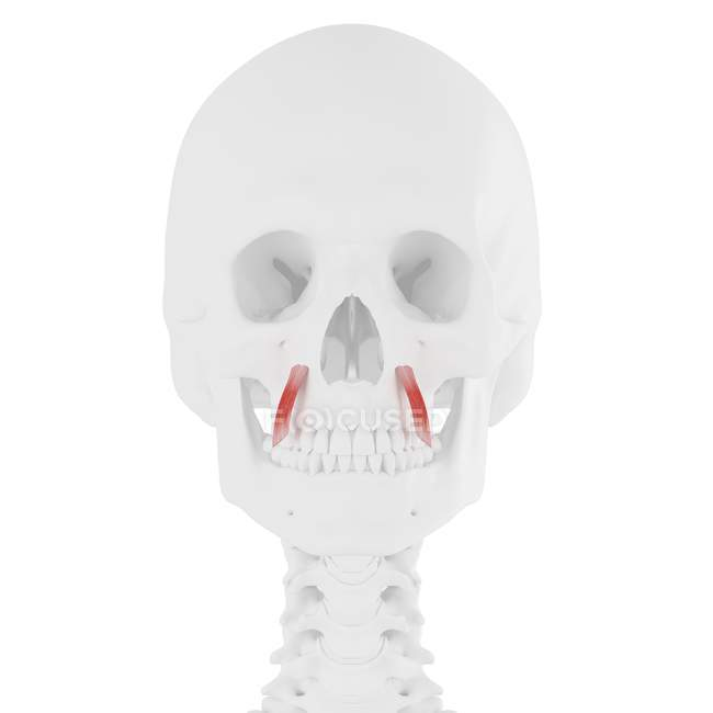 Calavera humana con detalle rojo Levator anguli oris muscle, ilustración digital . - foto de stock