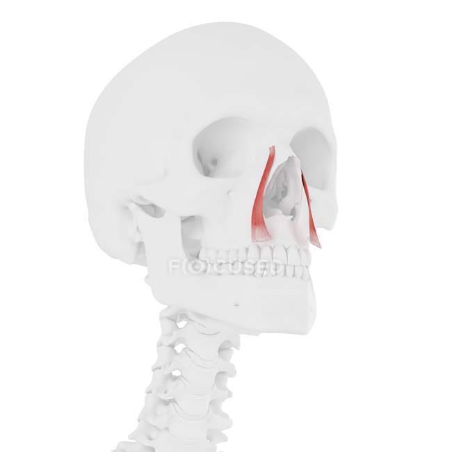 Скелет людини з червоним кольором Levator labii покращений alaeque насі м'язи, цифрова ілюстрація. — стокове фото