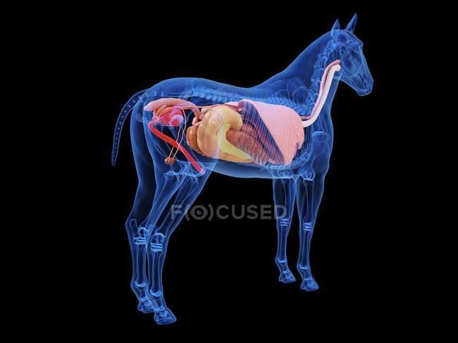 Лошадиная анатомия с видимыми внутренними органами, компьютерная иллюстрация . — стоковое фото
