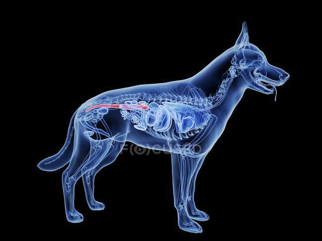 Dog silhouette with red colored large intestine on black background, digital illustration. — Stock Photo