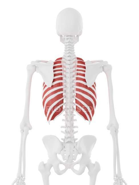 Esqueleto humano con el músculo intercostal externo de color rojo, ilustración digital . - foto de stock