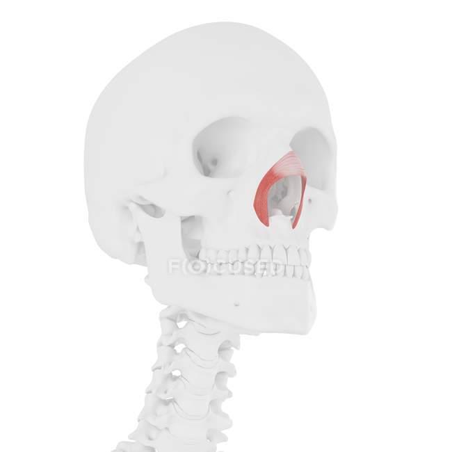 Esqueleto humano con músculo transverso Nasalis de color rojo, ilustración digital . - foto de stock