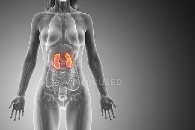 Anatomía femenina con riñones visibles de color, ilustración por ordenador . - foto de stock