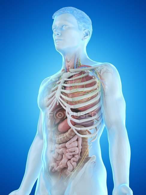 Реалістична модель тіла людини показує чоловічу анатомію з внутрішніми органами позаду ребер, цифровою ілюстрацією. — стокове фото