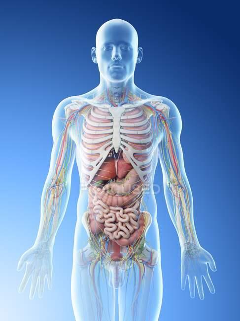 Мужская анатомия верхней части тела и внутренние органы, компьютерная иллюстрация . — стоковое фото