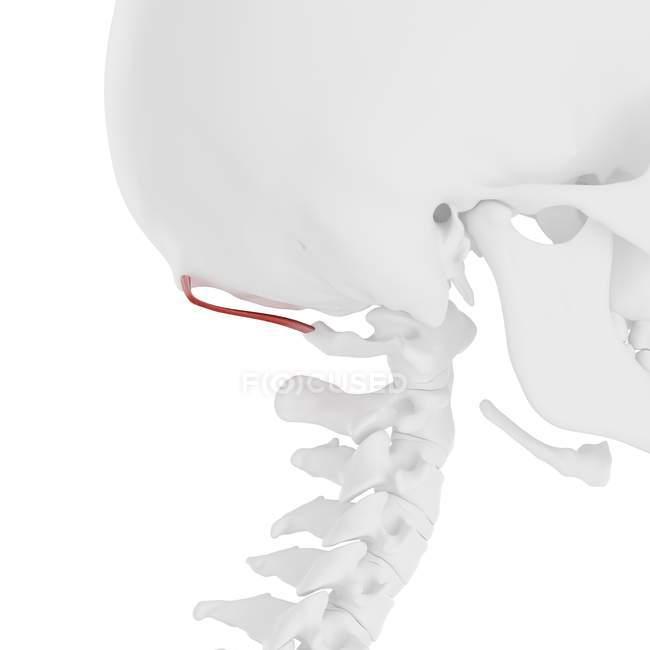 Esqueleto humano con capitis rectal de color rojo músculo menor posterior, ilustración digital . - foto de stock