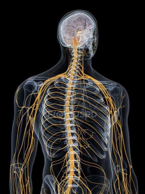 Абстрактный мужской силуэт с видимым мозгом и нервами нервной системы, компьютерная иллюстрация . — стоковое фото