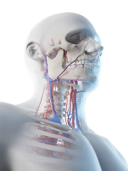 Sistema vascular del cuello en el cuerpo masculino, ilustración por ordenador . - foto de stock