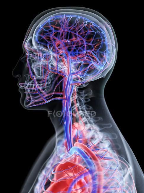 Сосудистая система головы человека, компьютерная иллюстрация . — стоковое фото