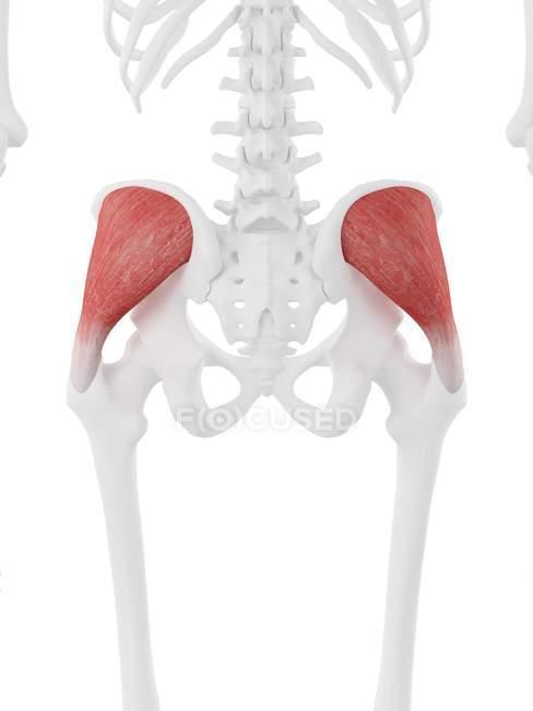 Esqueleto humano con glúteo rojo detallado músculo medio, ilustración digital . - foto de stock