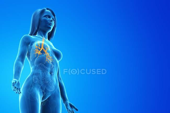 Yellow colored bronchi in body of woman, computer illustration. — Stock Photo