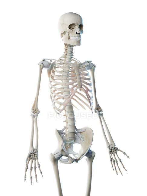 Esqueleto humano huesos de la parte superior del cuerpo, ilustración por computadora . - foto de stock