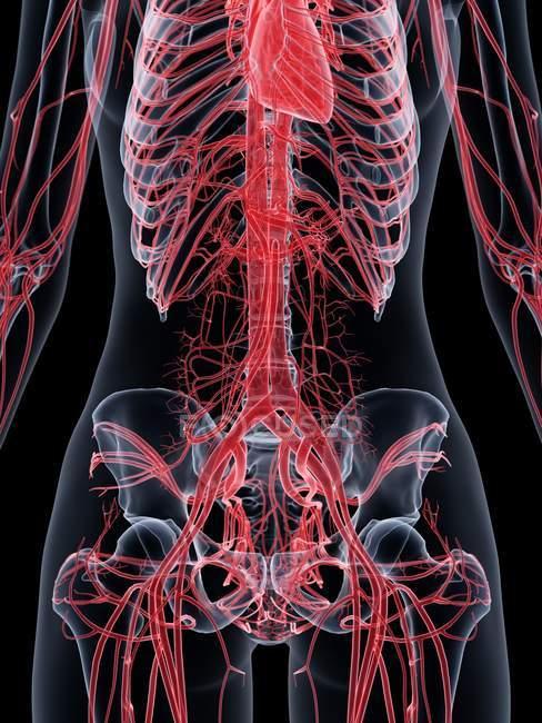 Cuerpo femenino con sistema vascular visible, ilustración por ordenador . - foto de stock