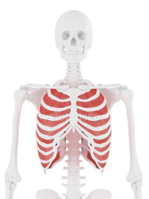 Esqueleto humano con rojo detallado Músculo intercostal interno, ilustración digital . - foto de stock