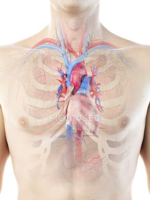 Sistema vascular y corazón en el cuerpo masculino, ilustración por computadora . - foto de stock