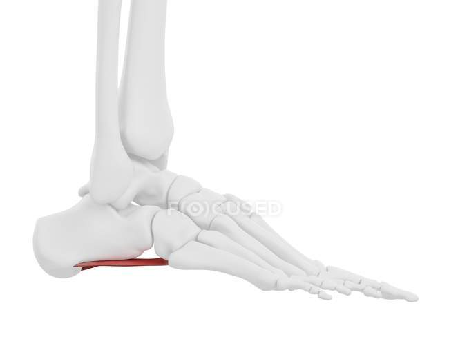 Esqueleto humano con músculo rojo Quadratus plantae, ilustración digital . - foto de stock