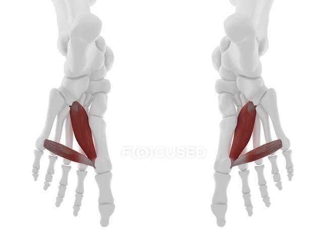 Parte del esqueleto humano con músculo Aductor rojo detallado hallucis, ilustración digital . - foto de stock