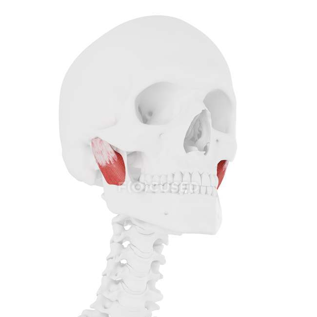 Human skeleton with red colored Deep masseter muscle, digital illustration. — Stock Photo