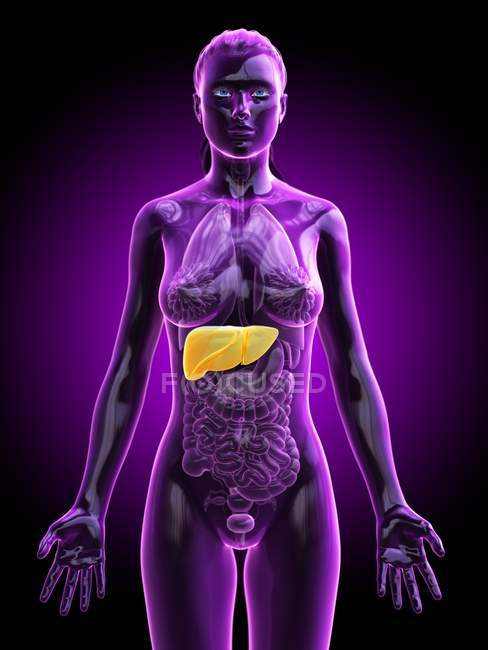 Silueta femenina con hígado detallado sobre fondo púrpura, ilustración por ordenador . - foto de stock