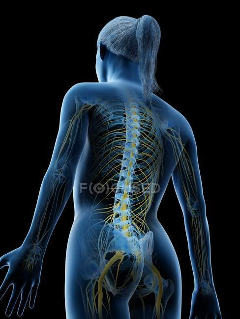 Sistema nervioso femenino en silueta corporal abstracta, ilustración por ordenador . - foto de stock