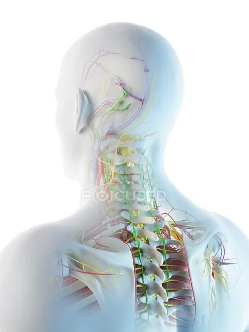 Anatomía de cabeza y cuello masculina, ilustración digital . - foto de stock