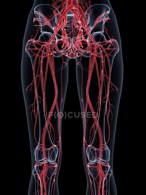 Female vascular system structure of legs, computer illustration. — Stock Photo