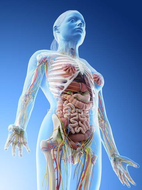 Anatomie du haut du corps et organes internes féminins, illustration par ordinateur . — Photo de stock