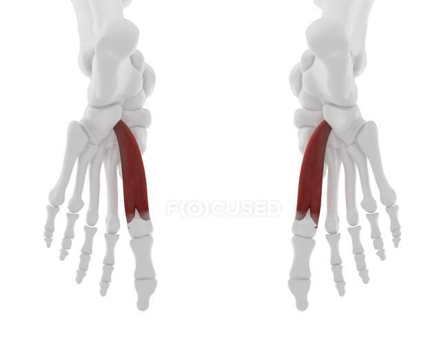 Human skeleton part with detailed red Flexor hallucis brevis muscle, digital illustration. — Stock Photo
