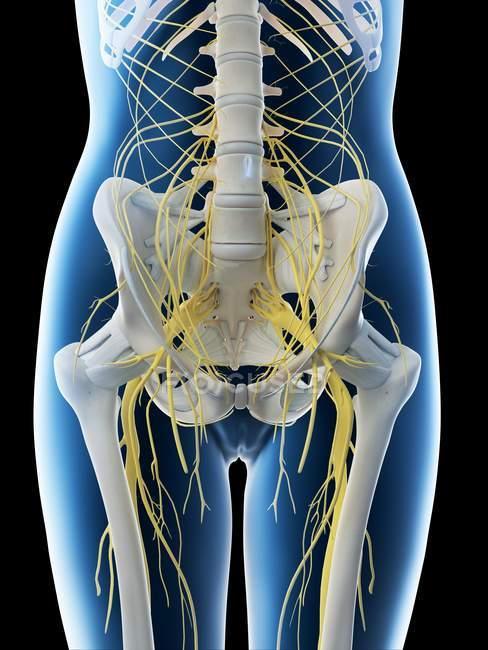 Nervios lumbares en silueta femenina abstracta, ilustración por computadora . - foto de stock