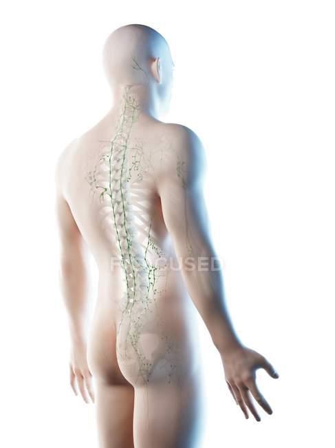 Ganglios linfáticos de la parte superior del cuerpo masculino, ilustración por ordenador . - foto de stock