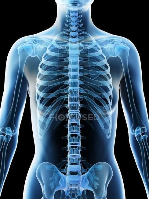 Huesos femeninos abstractos de la parte superior del cuerpo, ilustración por computadora . - foto de stock