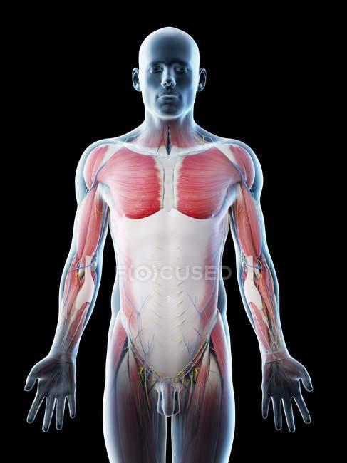 Мужская анатомия и мышцы верхней части тела, компьютерная иллюстрация . — стоковое фото