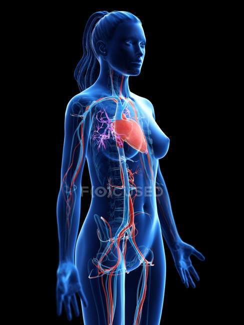 Female body with visible cardiovascular system, digital illustration. — Stock Photo
