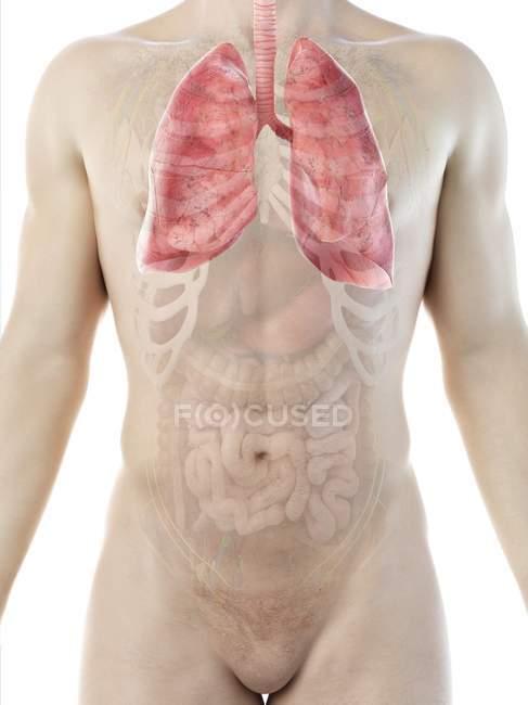 Lungen in der Anatomie des männlichen Körpers, Computerillustration. — Stockfoto