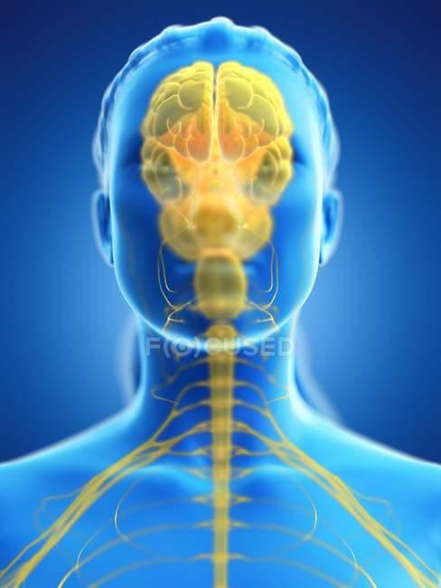 Cerebro coloreado en el cuerpo femenino, ilustración por computadora . - foto de stock