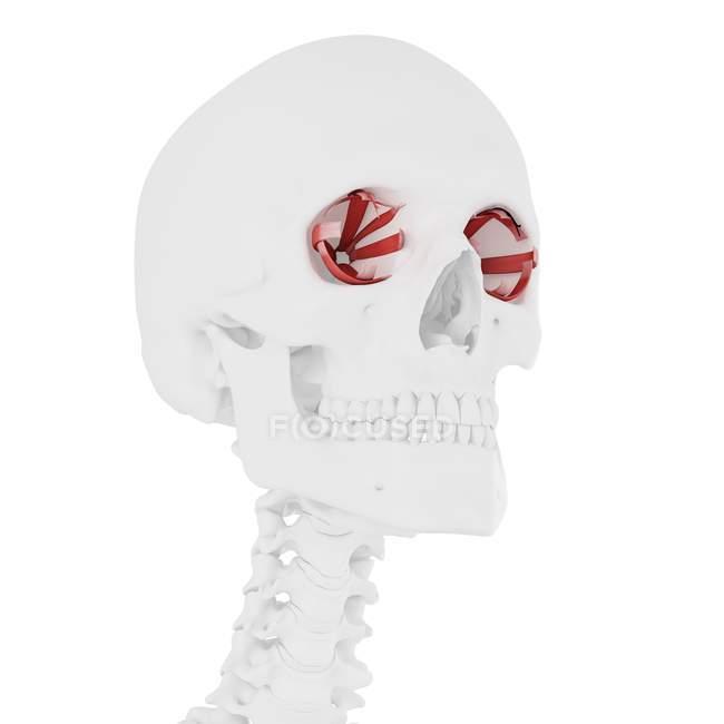 Eye muscles in human skull, computer illustration. — Stock Photo